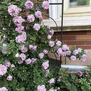 蓝色阴雨真的是开花利器。秋后重新把它牵引上墙,希望明年有月季花墙看。