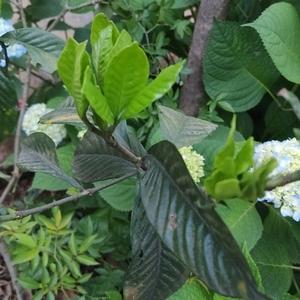 小型的长叶 大型的积蓄花苞