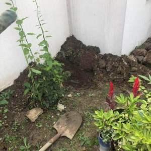 开始爬藤了,埋肥挖到水管。