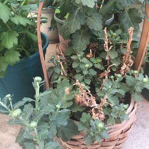 哈哈哈,春节那颗被老妈扔掉的荷兰菊被我捡来养,如今花繁叶茂。