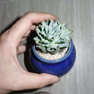 """我新添加了一棵""""蓝石莲""""到我的""""花园"""""""