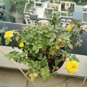 """我新添加了一棵""""黄色月季""""到我的""""花园"""""""