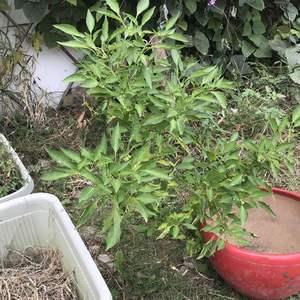 香菜和辣椒