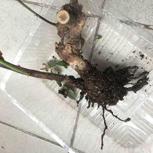 原来月季老桩的的坑点在这啊。长的好好的突然就叶子变软下垂,挖出来一看,原来基本没长根,养分耗尽就没法再支撑了。剪下两根相对健康的枝桠看能不能扦插成活,其它丢垃圾桶了。