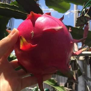 今年的第一个火龙果居然有一斤多,而且味道超甜的。