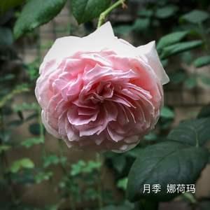 栽种在花盆里就是开花慢,最近终于感觉长得好些了。