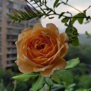 最爱将开未开的蔷薇      羞答答的美    最是那一低头的温柔