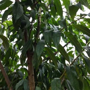 桃树今年有果子 但是被鸟吃了