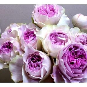 """我新添加了一棵""""月季-伊芙紫苑""""到我的""""花园"""""""