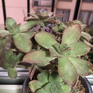 艳日辉(9.9)多肉植物