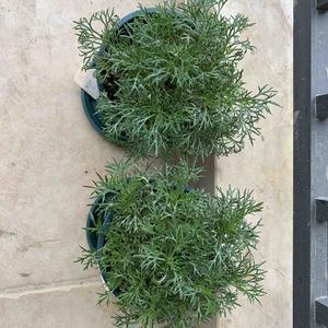 两盆玛格丽特、绣球、柠檬树都灌了根腐灵