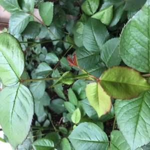 好多花苞哟,小盆栽的每个芽都有花苞嘞,花友送的也成活了不少呢