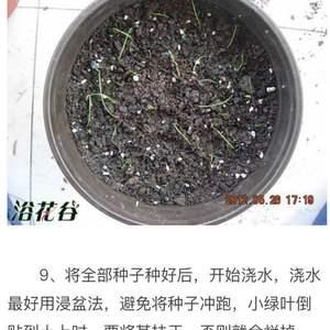 第一种风雨兰竟然结种子,借鉴网上的文章学习学习。