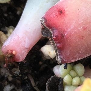 叶插砍头苗临时安置点