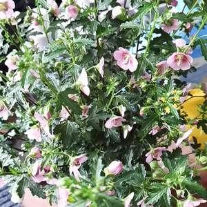 """我新添加了一棵""""小木槿""""到我的""""花园"""""""