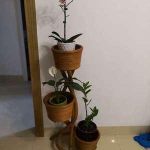 """我新添加了一棵""""蝴蝶兰白掌金钱树""""到我的""""花园"""""""